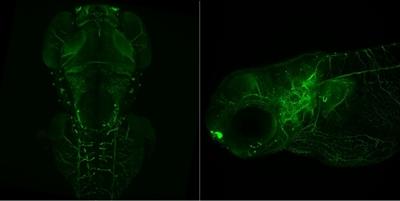Confocal Fluorescence Microscope Image