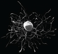 Fluorescence Image of a Rat Neuron
