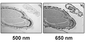 Two images of a mature capsella bursa-pastoris embryo