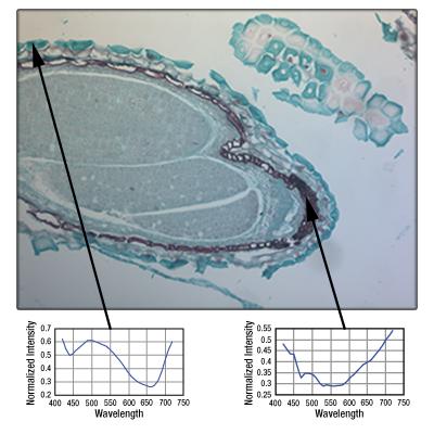 A color image of the mature capsella bursa-pastoris embryo